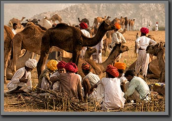 Camels Traders India