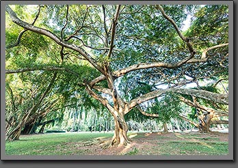 Sri Lanka Tree photo